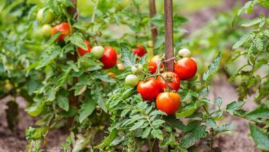 746789885 390x220 - سبزیجات ارگانیکی که می توانید در باغ خانه پرورش دهید