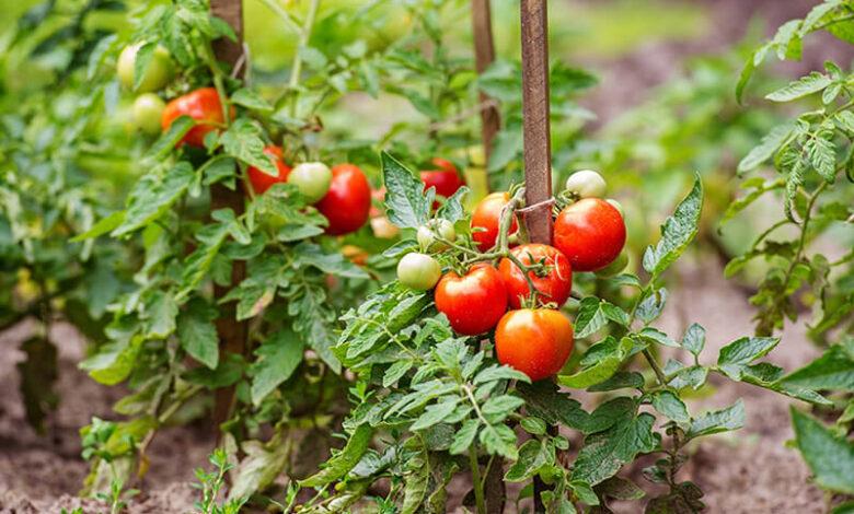 746789885 780x470 - سبزیجات ارگانیکی که می توانید در باغ خانه پرورش دهید