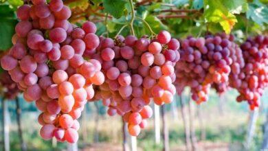 36281 572 390x220 - خوردن انگور مانند ضد آفتاب عمل می کند