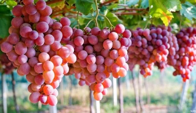 36281 572 - خوردن انگور مانند ضد آفتاب عمل می کند