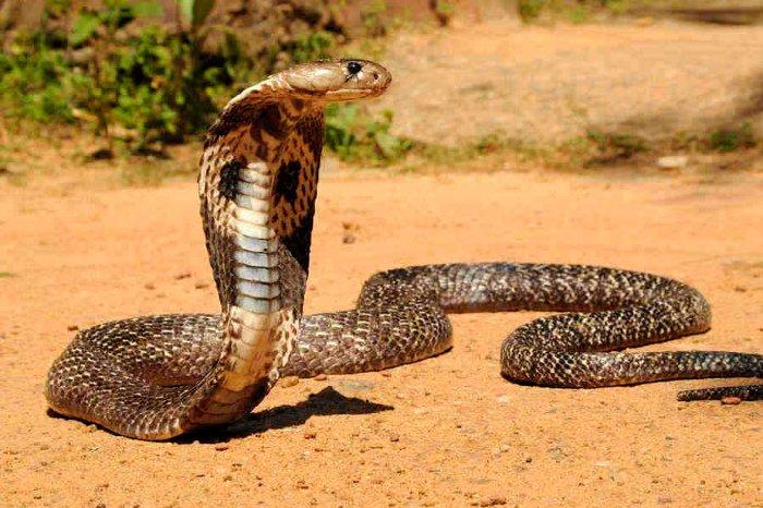 indian cobra - کشنده ترین حیوانات جهان - لیست 15 حیوان مرگبار و خطرناک دنیا